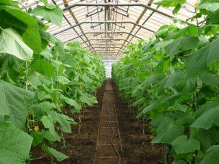 Как можно продлить плодоношение огурцов в теплице