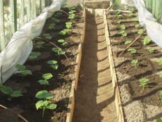 Как вырастить огурцы в теплице на Урале