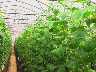 Как вырастить огурцы в теплице: руководство для начинающих