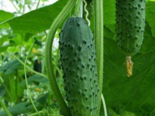 Мягкие огурцы в теплице: причины и способы устранения проблемы