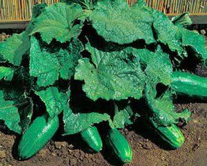 Огурец кустовой: сорта и особенности выращивания