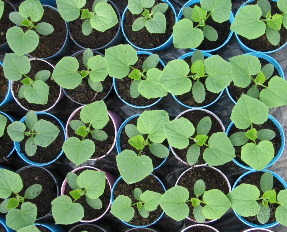 Как сажать огурцы: рассадой или семенами