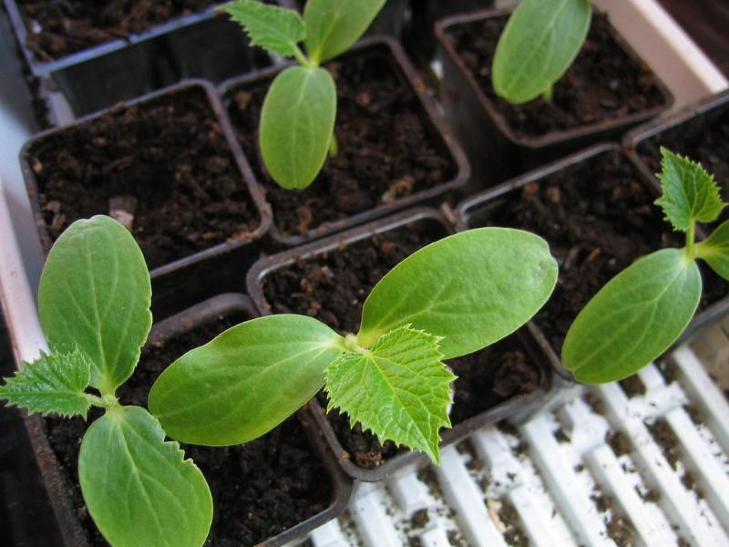 Как сажать семена огурцов на рассаду