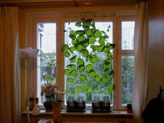 Лучшие сорта огурцов для выращивания на подоконнике