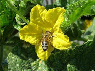 Семена пчелоопыляемых огурцов