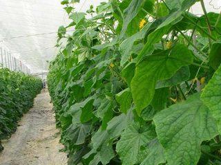 Сорта семян огурцов для теплицы