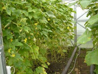Самоопыляемые сорта огурцов для раннего сбора урожая