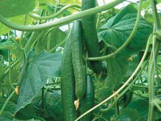 Сорта длинноплодных огурцов
