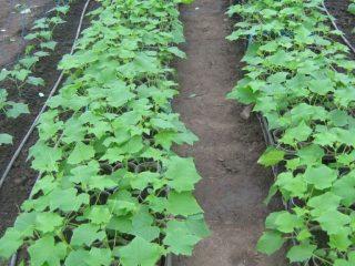 Сорта огурцов для Ростовской области в открытом грунте