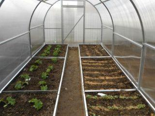 Выращивание корнишонов в теплице