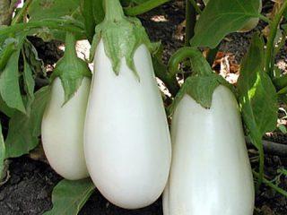 Сорта белых баклажанов