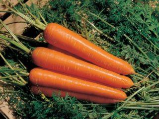 Сорта моркови столовой