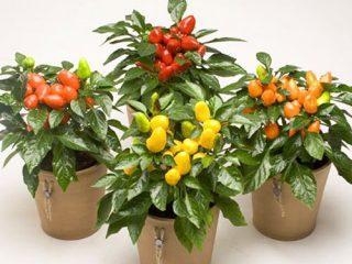 Сорта перцев для выращивания на подоконнике
