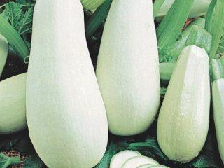 Белоплодные сорта кабачков