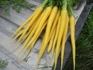 Сорта желтой моркови