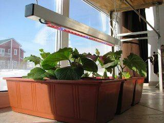 Выращивание рассады огурцов на подоконнике