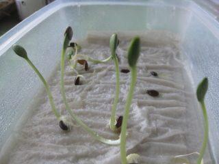 Как правильно замачивать семена огурцов на рассаду