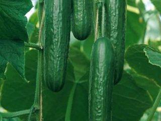 Семена огурцов корейской селекции