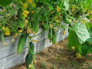 Сорта и семена огурцов для закрытого грунта