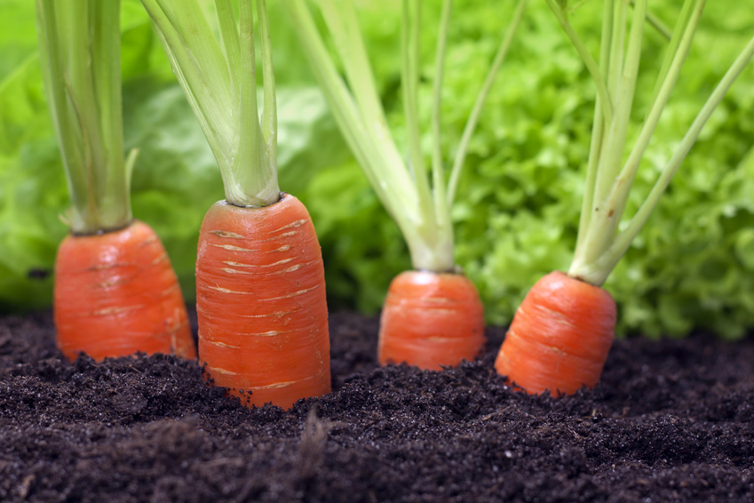 Почему морковь горькая вырастает