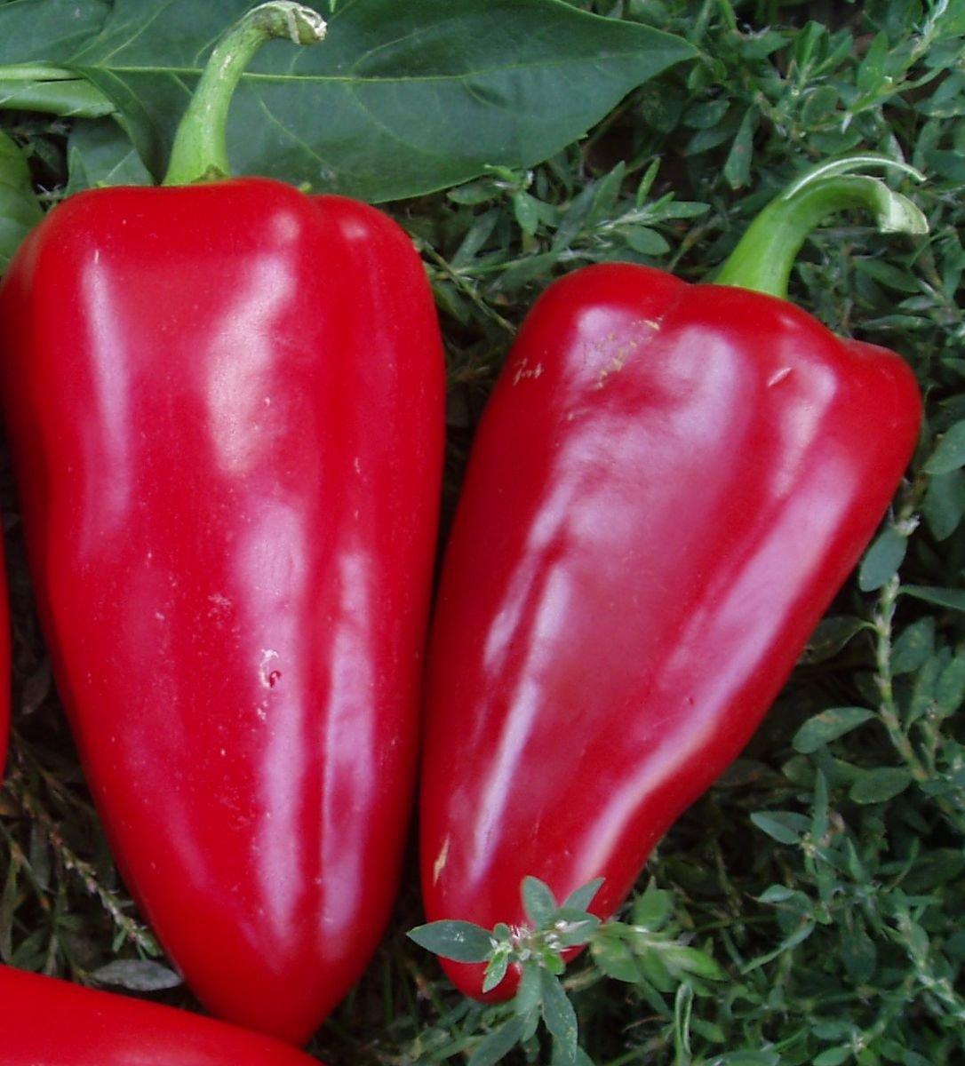 перец сладкий богатырь отзывы фото урожайность