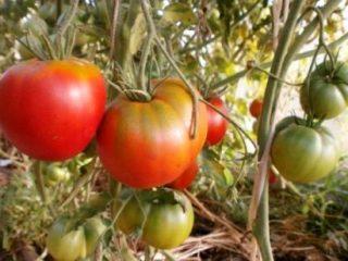 Сорта высокорослых томатов