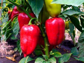 Сорта самых ранних перцев