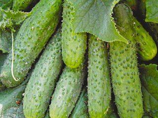 Популярные сорта огурцов для открытого грунта
