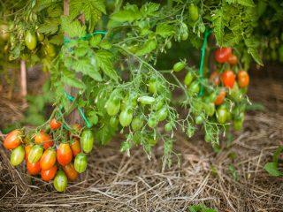 Низкорослые томаты, не требующие пасынкования