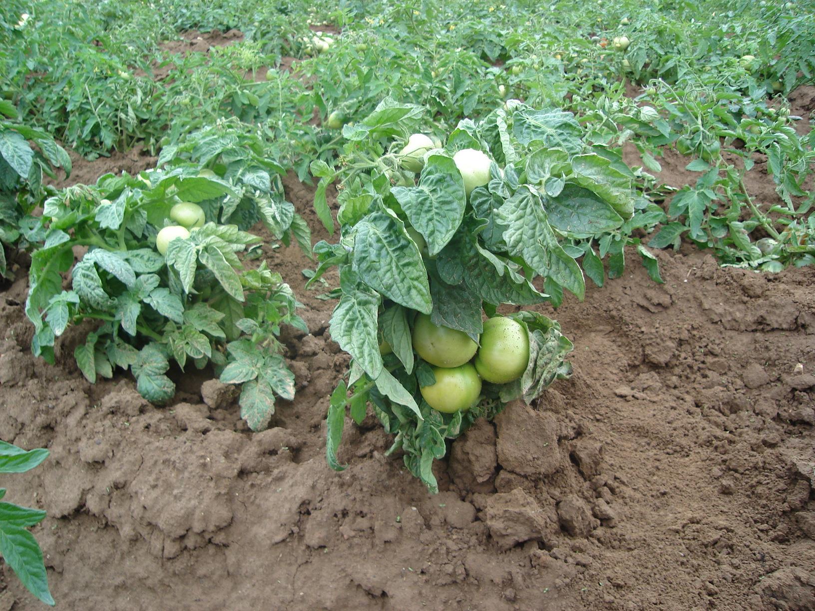 Лучшие сорта помидор низкорослых для открытого грунта