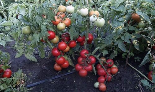 детерминантные сорта помидоров