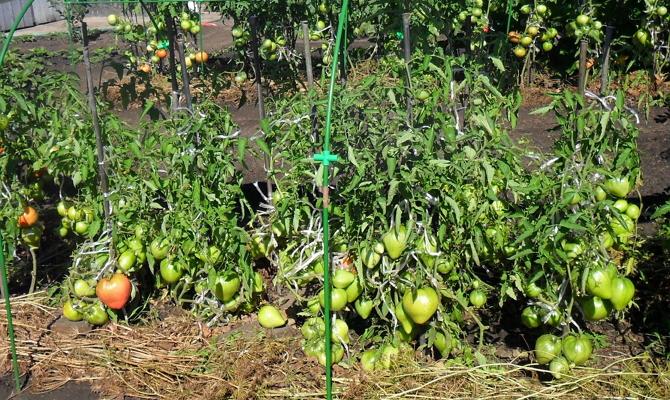 Низкорослые помидоры идеальны для открытого грунта
