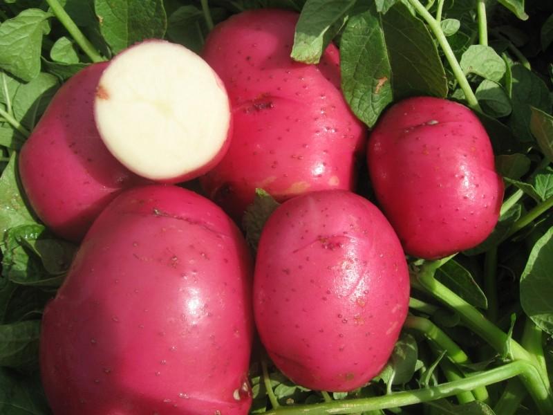картофель красная роза описание сорта фото отзывы