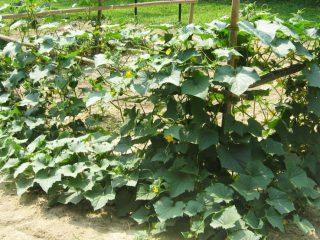 Сорта огурцов для открытого грунта в Краснодарском крае