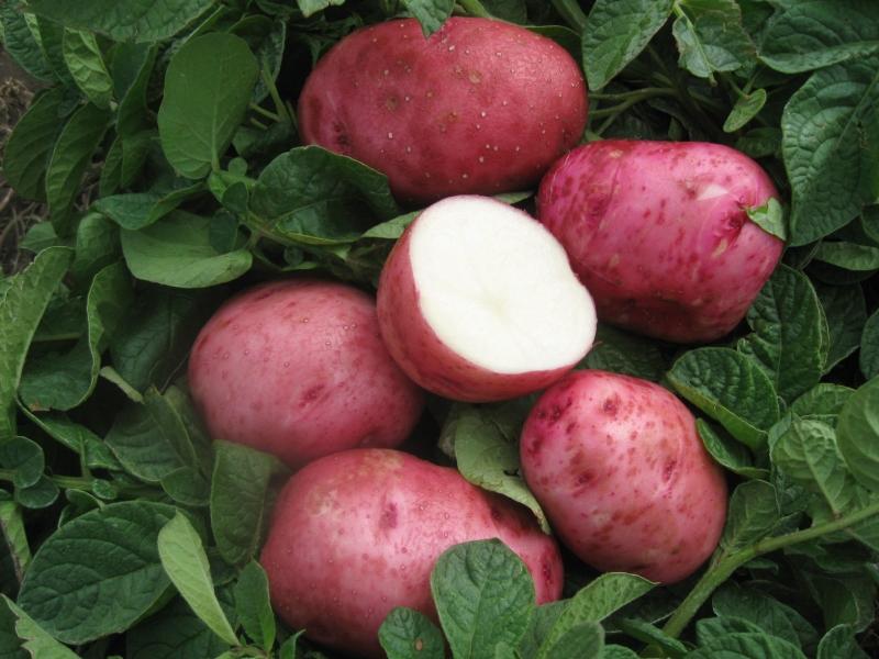 Урожайный сорт картофеля Вишенка Беллароза