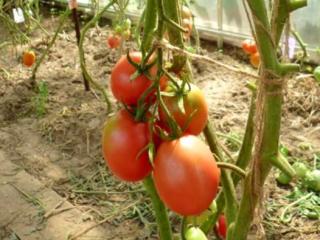 Высокорослые томаты для теплиц