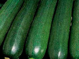 Кабачки-цуккини: лучшие сорта