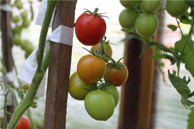 Штамбовые помидоры лучшие сорта