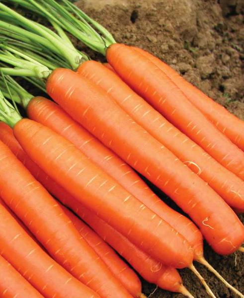 Самый лучший сорт моркови