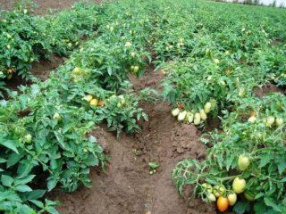 Низкорослые томаты: самые лучшие сорта