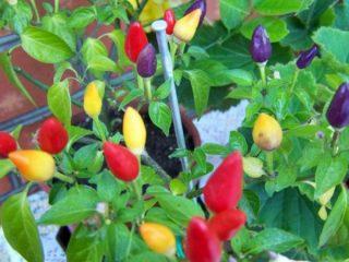 У каких сортов перцы растут плодами вверх