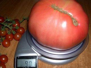 Крупные сорта помидоров для открытого грунта