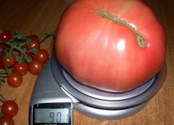 Лучшие сорта помидоров для черноземья