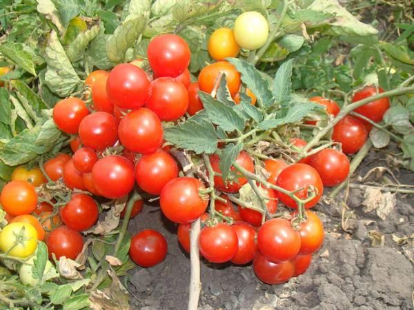 Лучшие томаты для открытого грунта в сибири