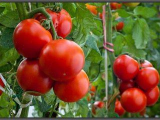 Лучшие среднерослые сорта помидоров