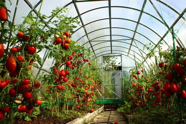 Теплицы для томатов своими руками 00 размер теплицы