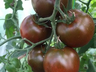 Голландские сорта помидоров для открытого грунта