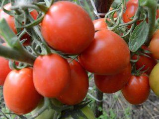 Низкорослые поздние томаты