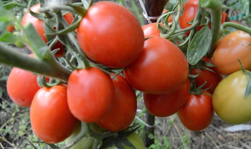 Поздние сорта томатов для теплиц низкорослые
