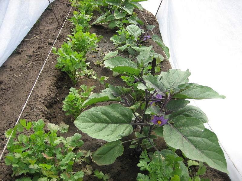 Выращивание баклажанов в открытом грунте в подмосковье